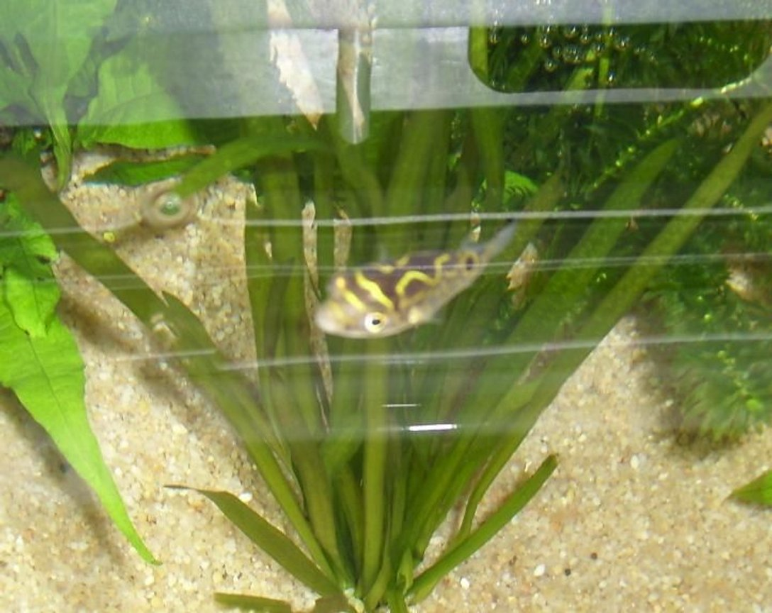 freshwater fish - tetraodon biocellatus - figure 8 puffer stocking in 35 gallons tank - Figure Eight Puffer FIsh