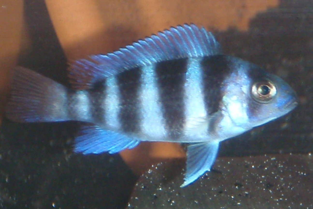 "freshwater fish - cyphotilapia frontosa - frontosa cichlid stocking in 55 gallons tank - another 2""frontosa"