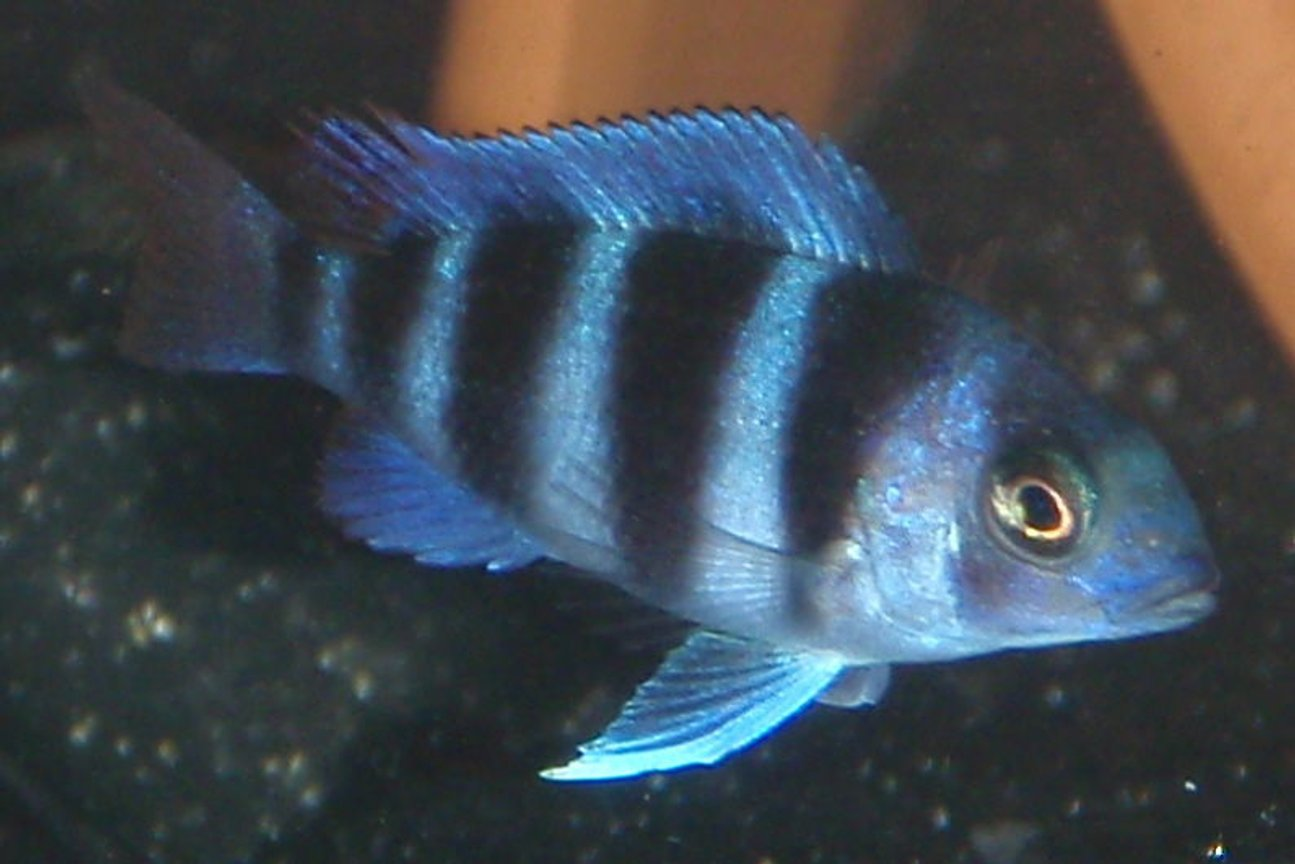 freshwater fish - cyphotilapia frontosa - frontosa cichlid stocking in 55 gallons tank - c. frontosa