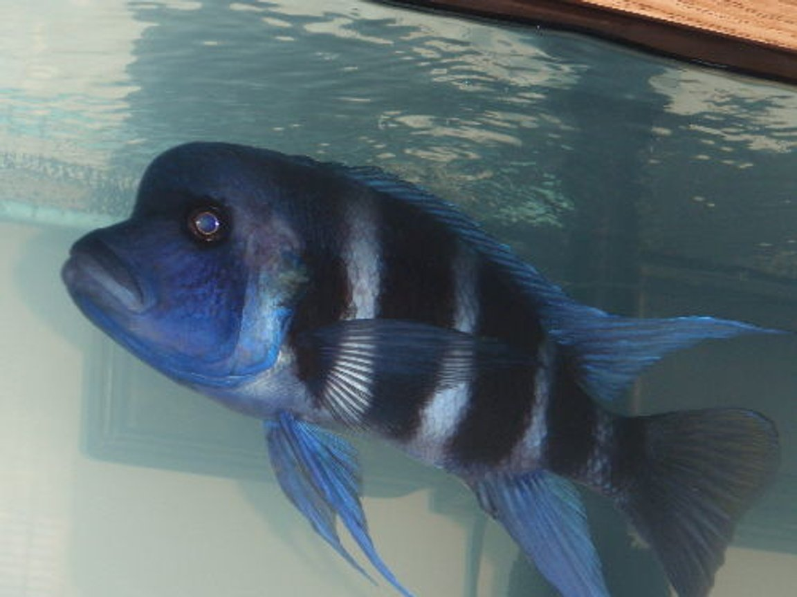 freshwater fish - cyphotilapia frontosa - frontosa cichlid stocking in 55 gallons tank - Mr. Big