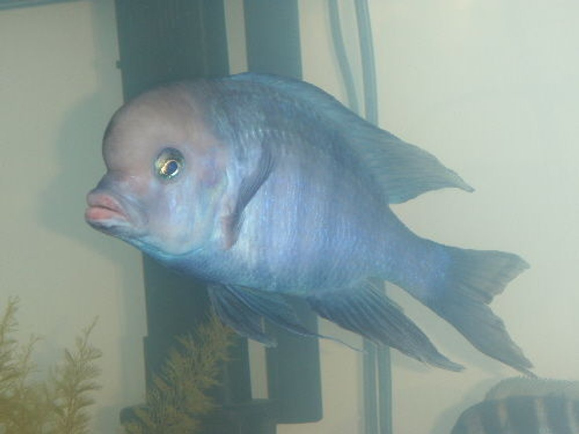 freshwater fish - cyrtocara moorii - blue dolphin cichlid stocking in 55 gallons tank - lumpy