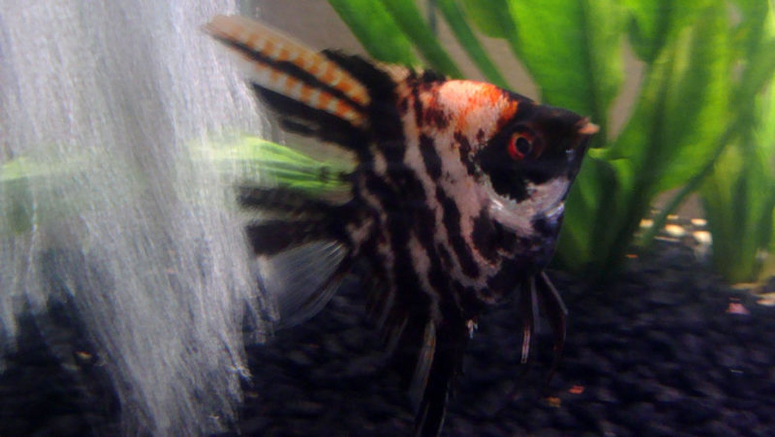 freshwater fish - pterophyllum sp. - koi angel stocking in 12 gallons tank - Angel Fish