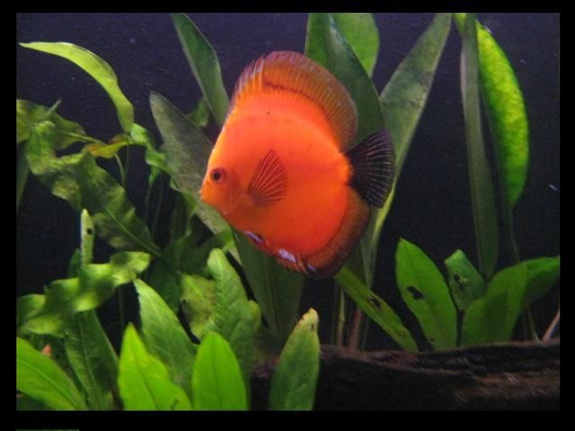 freshwater fish - symphysodon sp. - red marlboro discus stocking in 113 gallons tank - red marlboro discus fish