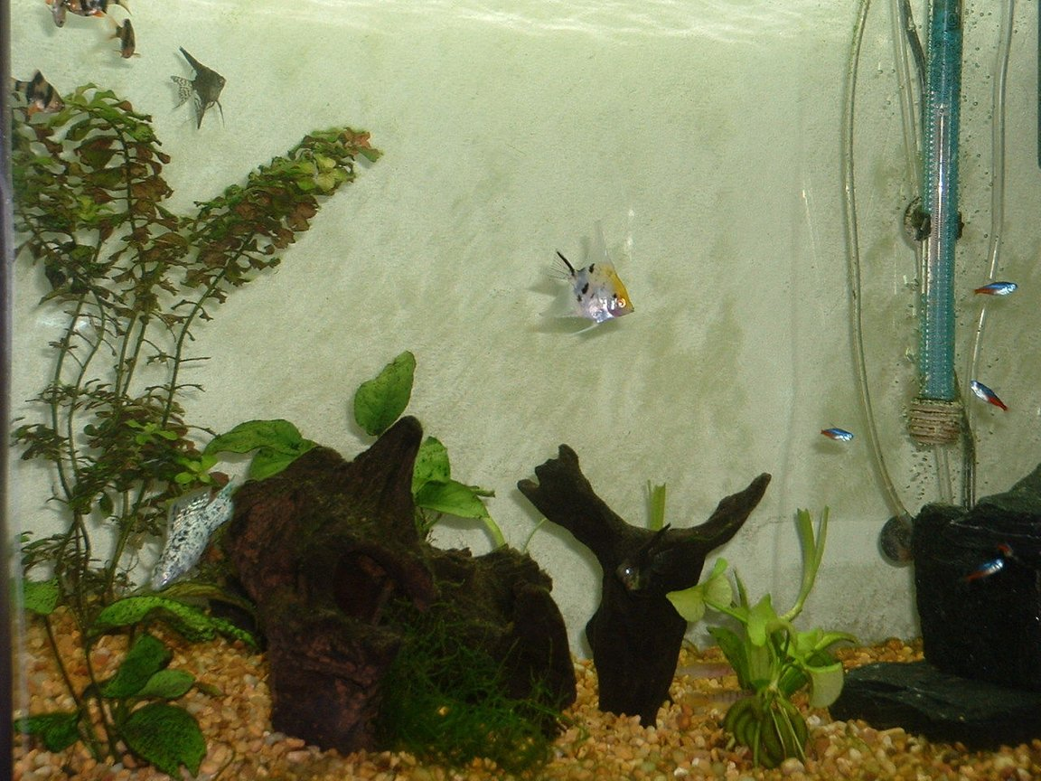 freshwater fish - pterophyllum sp. - koi angel stocking in 55 gallons tank - Some of my little friends