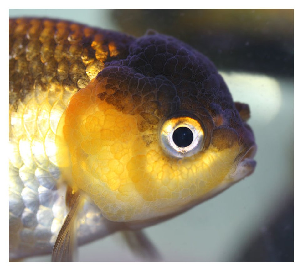 freshwater fish - carassius auratus stocking in 72 gallons tank - brown and yellow lionhead
