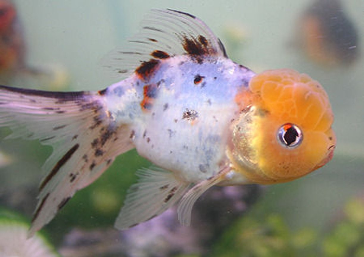 freshwater fish - carassius auratus - calico oranda goldfish stocking in 72 gallons tank - lemon-headed calico oranda