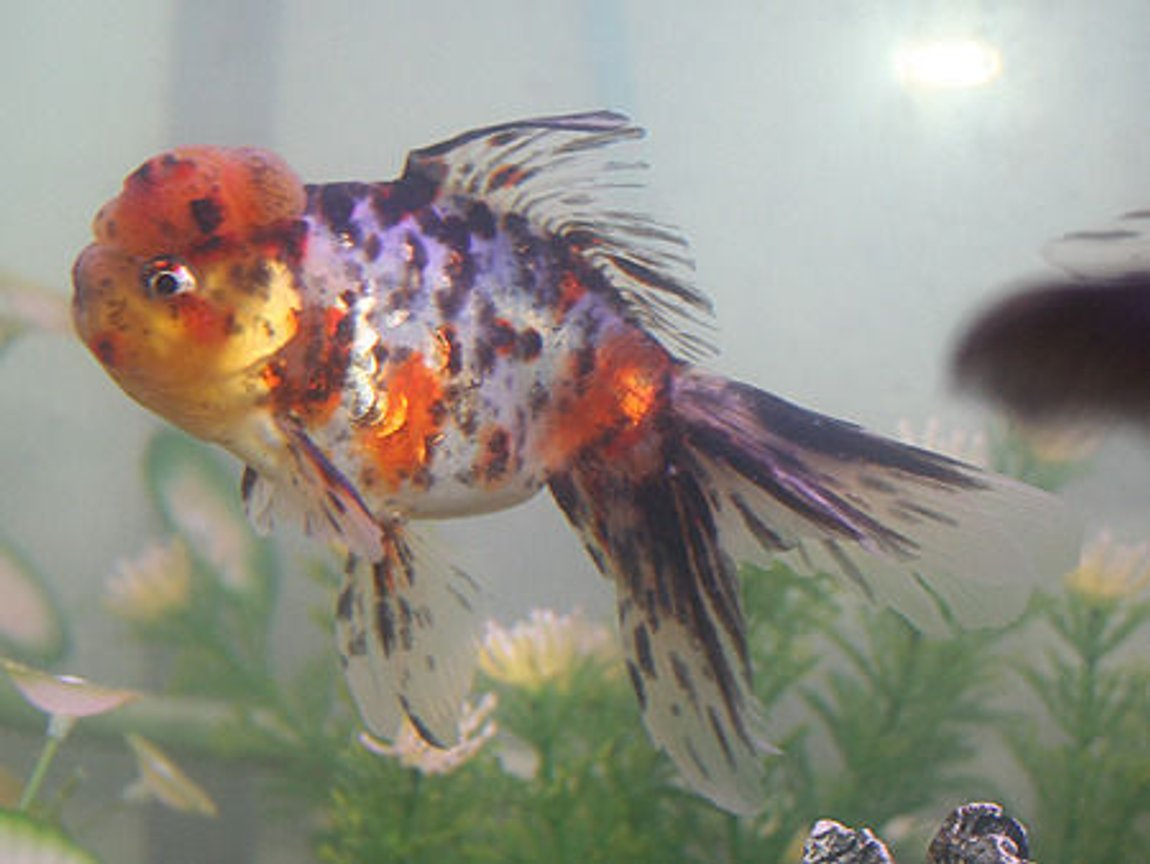 freshwater fish - carassius auratus - calico oranda goldfish stocking in 72 gallons tank - calico oranda
