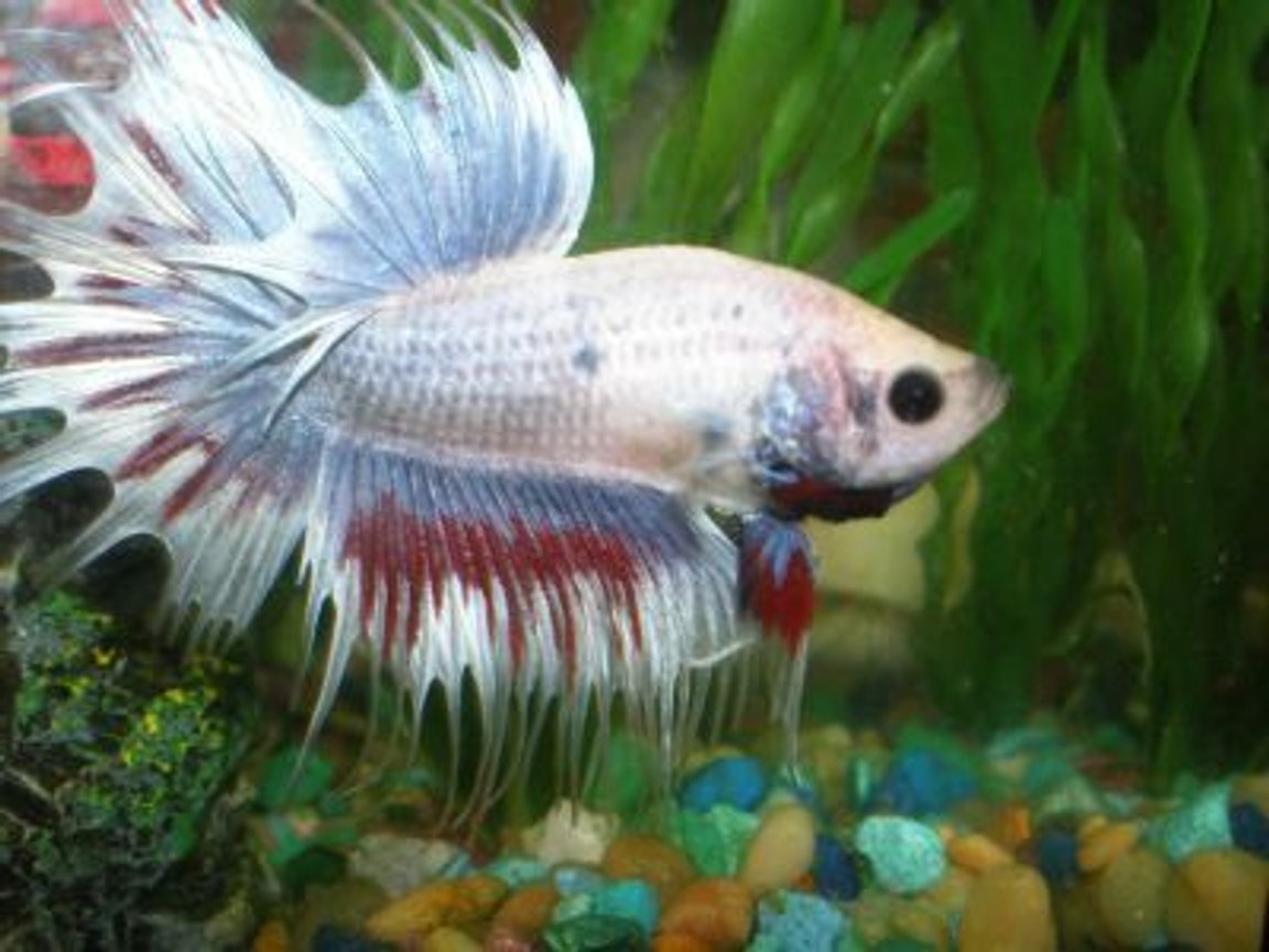 freshwater fish - betta splendens - crown tail betta stocking in 10 gallons tank - This is my Crowntail Beta Lunar Eclipse or Loony for short. He's puffing up at his reflection...Isn't he beautiful?