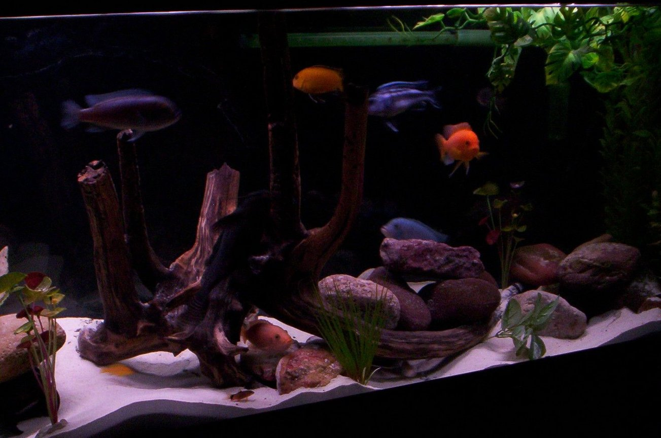 freshwater fish - pseudotropheus estherae - red zebra cichlid stocking in 55 gallons tank - 55 gallon mbuna tank