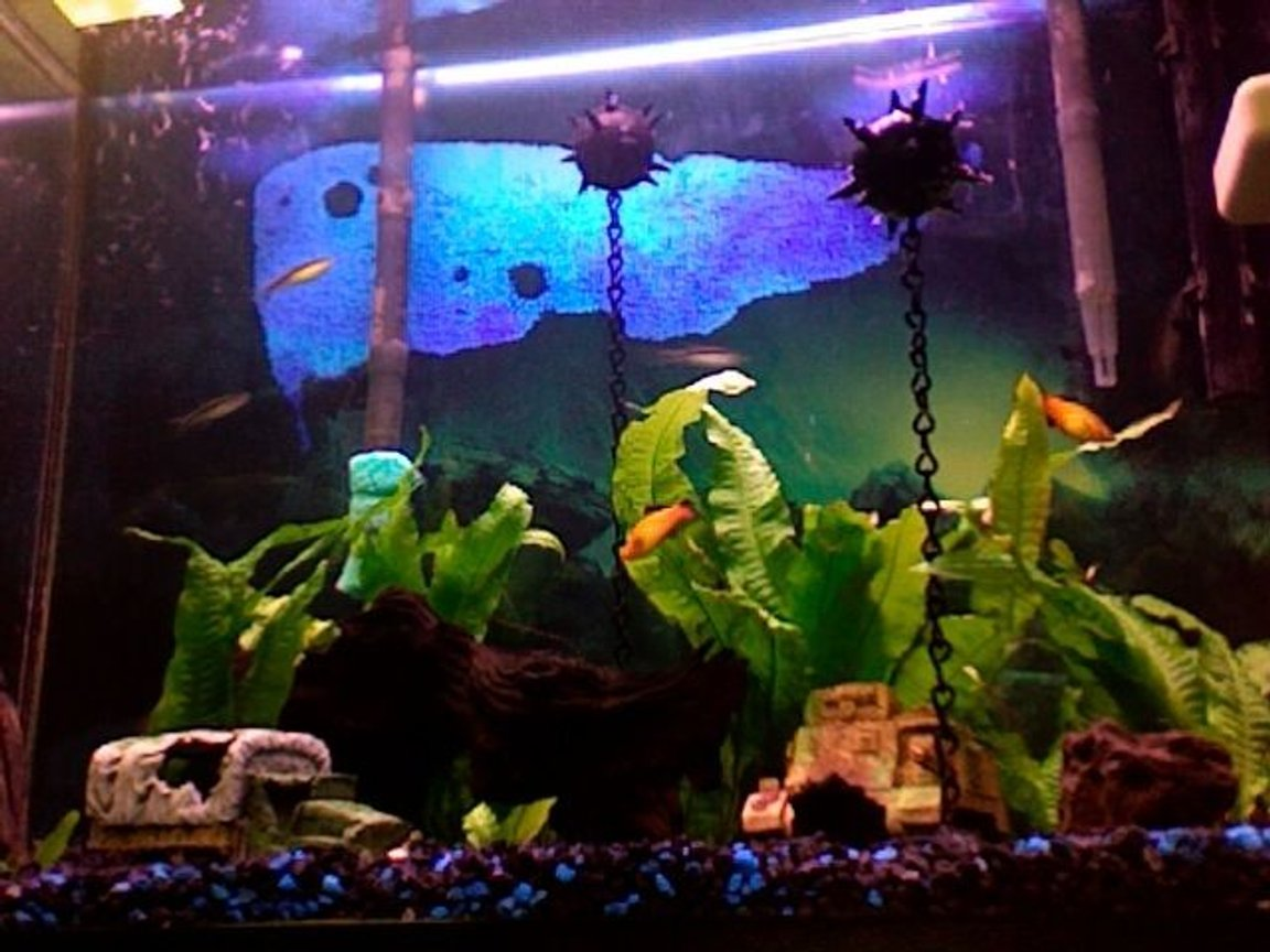 freshwater fish - xiphophorus maculatus - platy stocking in 35 gallons tank - WW2 theme - Sea Mines