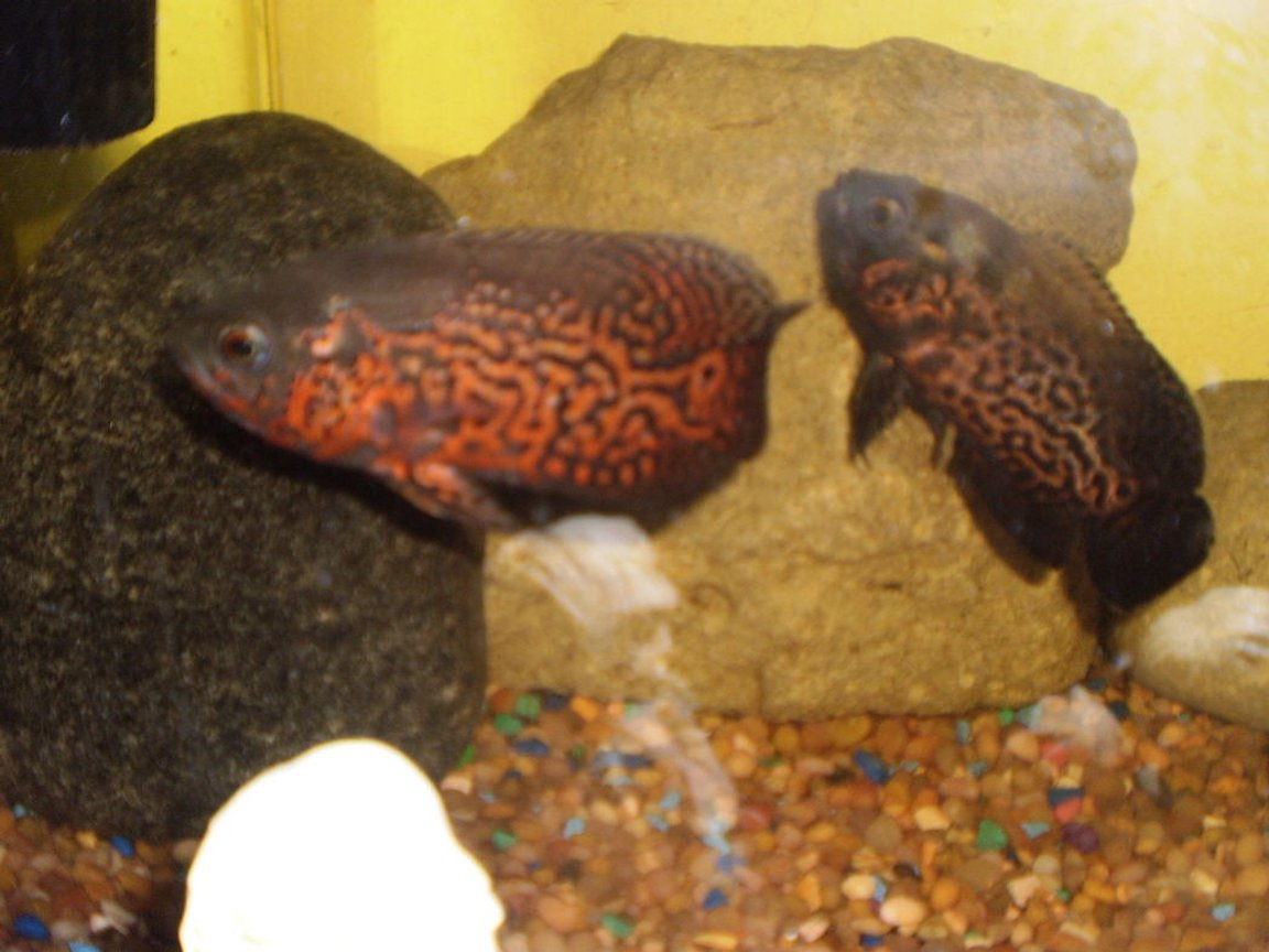 freshwater fish - astronotus ocellatus - tiger oscar stocking in 40 gallons tank - my two ocsars