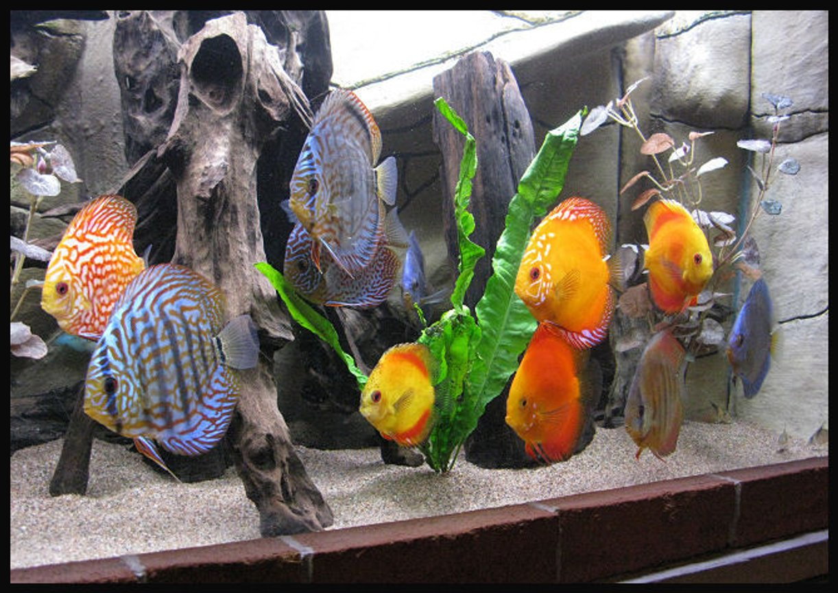 freshwater fish - symphysodon spp. - red turquoise discus stocking in 127 gallons tank - Discus