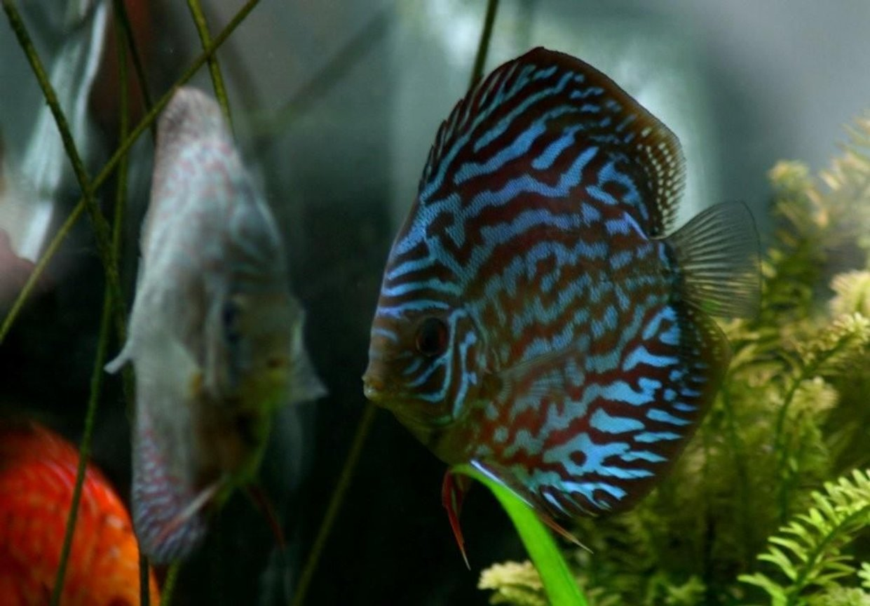 freshwater fish - blue turquoise discus stocking in 130 gallons tank - Brillant