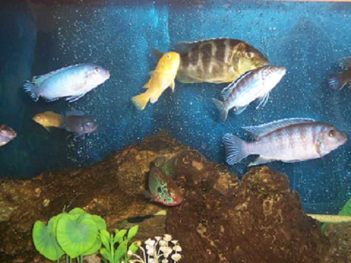 freshwater fish - nimbochromis venustus - venustus cichlid stocking in 75 gallons tank - mixed cichlids