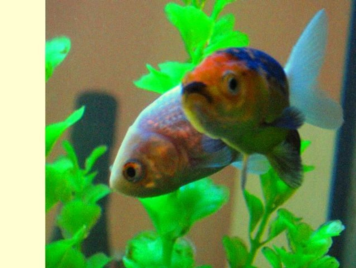 freshwater fish - carassius auratus - goldfish stocking in 17 gallons tank - My two lionhead goldfish, floated right into shot perfectly, as they cruised around my tank.
