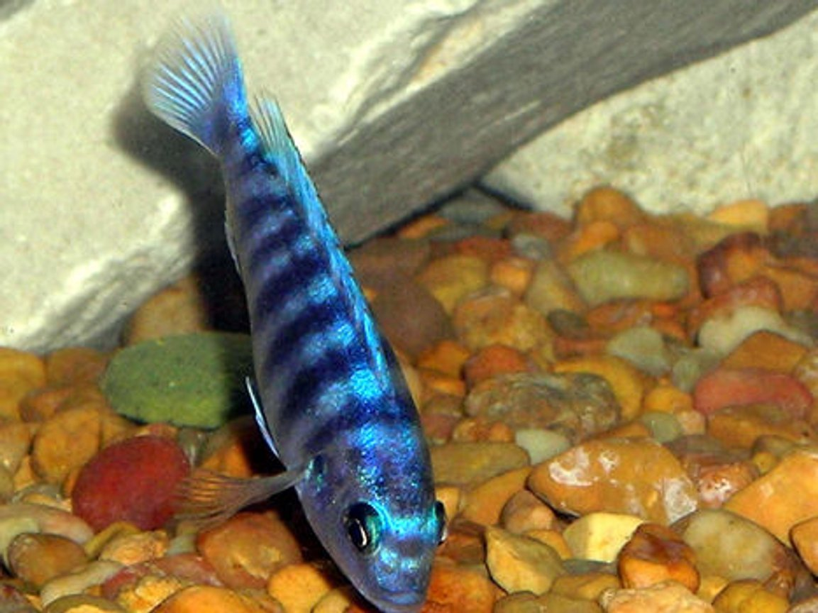 freshwater fish - labeotropheus fuelleborni - fuelleborni cichlid, marmalade stocking in 55 gallons tank - Cichlid Picking For food.