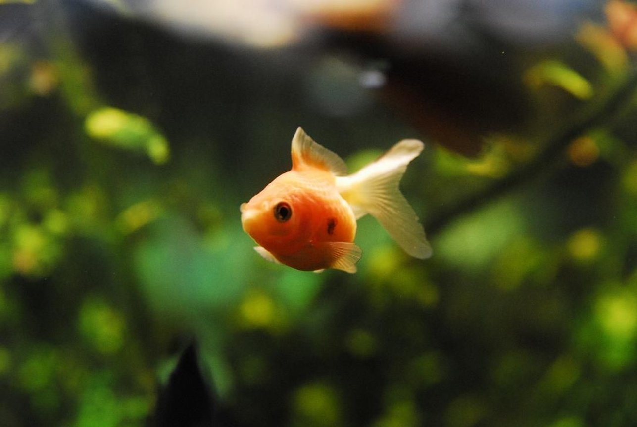 "freshwater fish - carassius auratus - crown pearlscale goldfish stocking in 55 gallons tank - 1"" Pearlscale Goldfish"
