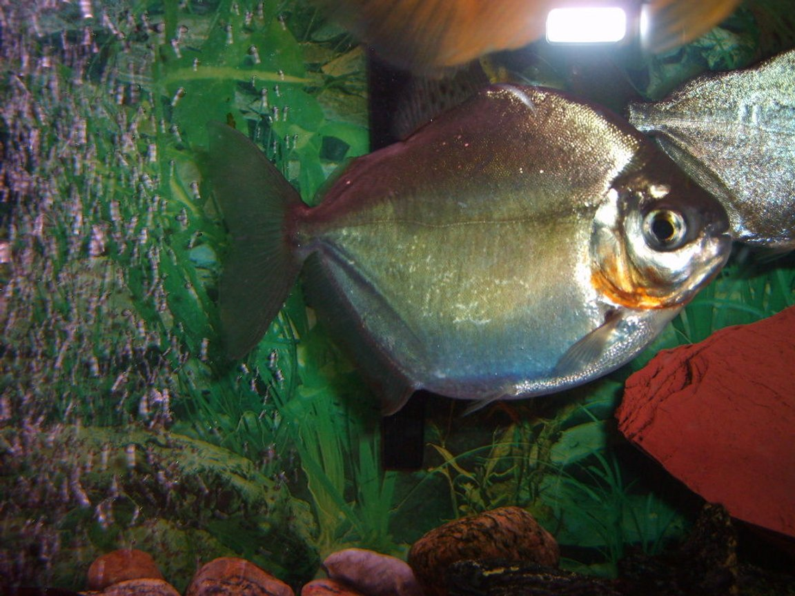 freshwater fish - metynnis argenteus - silver dollar stocking in 55 gallons tank - one of the three silver dollars