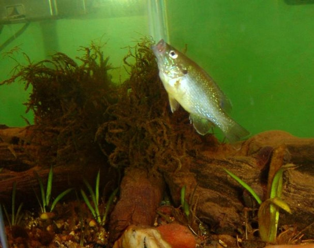 freshwater fish - lepomis cyanellus - green sunfish stocking in 10 gallons tank - My Green sunfish going after a food pellet