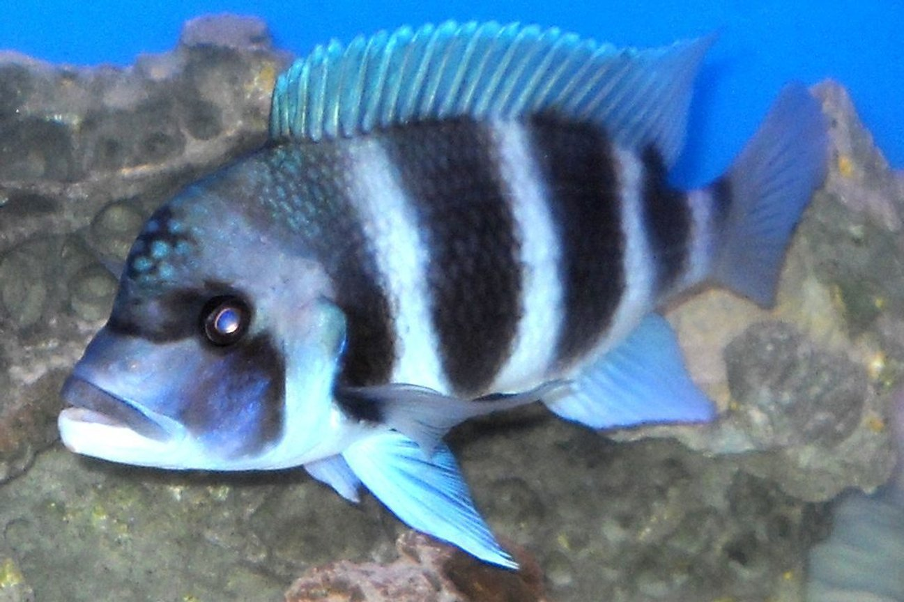 freshwater fish - cyphotilapia frontosa - frontosa cichlid stocking in 120 gallons tank - Front, at 10 inces, male, his name is moto-moto!