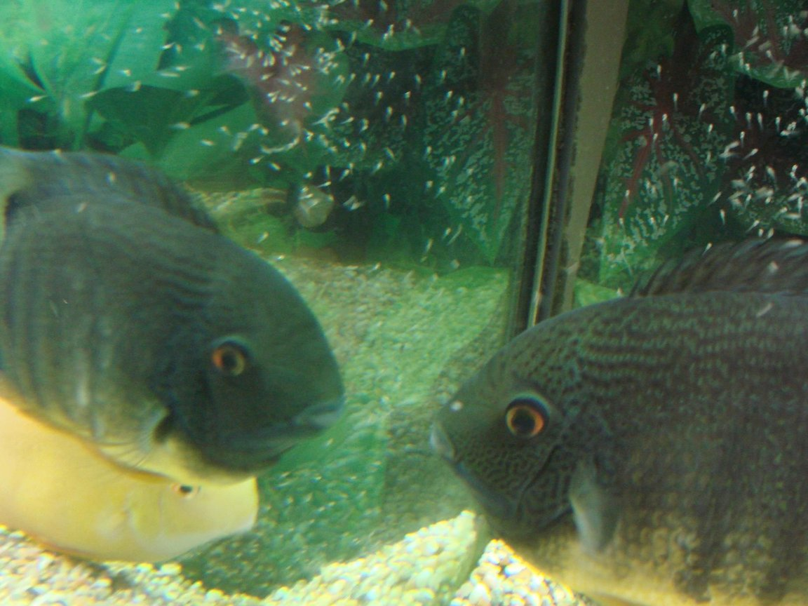 freshwater fish - heros serverus - green severum stocking in 200 gallons tank - Trying to control the youngsters