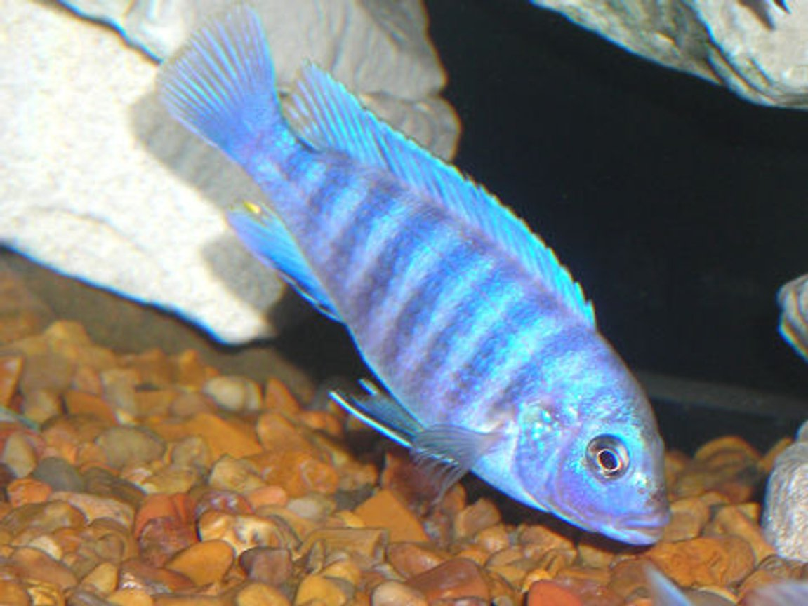 freshwater fish - aulonocara nyassae - blue peacock cichlid stocking in 55 gallons tank - African Mbuna Cichlid.