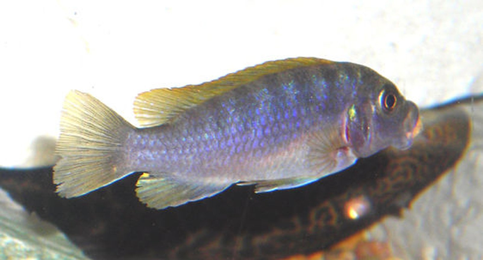 freshwater fish - metriaclima lombardoi - kenyi cichlid stocking in 55 gallons tank - African Mbuna Cichlid.