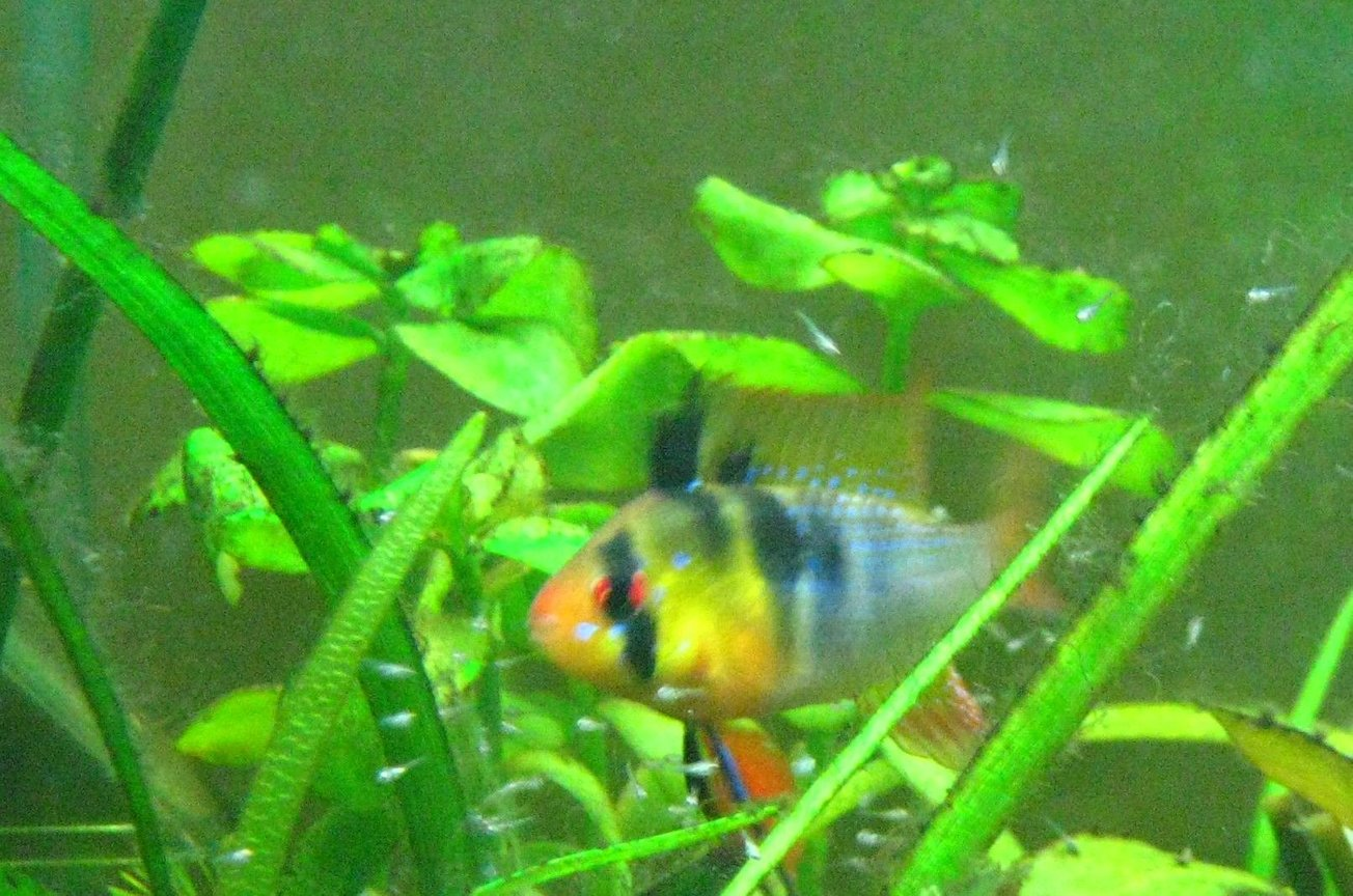 freshwater fish - papiliochromis ramirezi - german blue ram stocking in 15 gallons tank - my male ram with fry