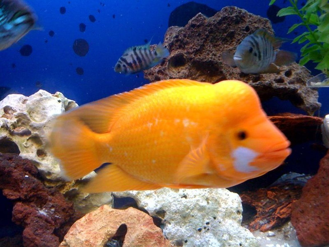 freshwater fish - amphilophus labiatus - red devil stocking in 150 gallons tank - Bubbles the Red Devil
