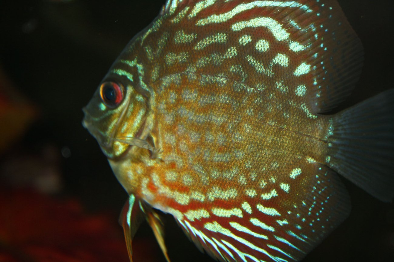freshwater fish - symphysodon spp. - snakeskin discus stocking in 55 gallons tank - my snakeskin discus