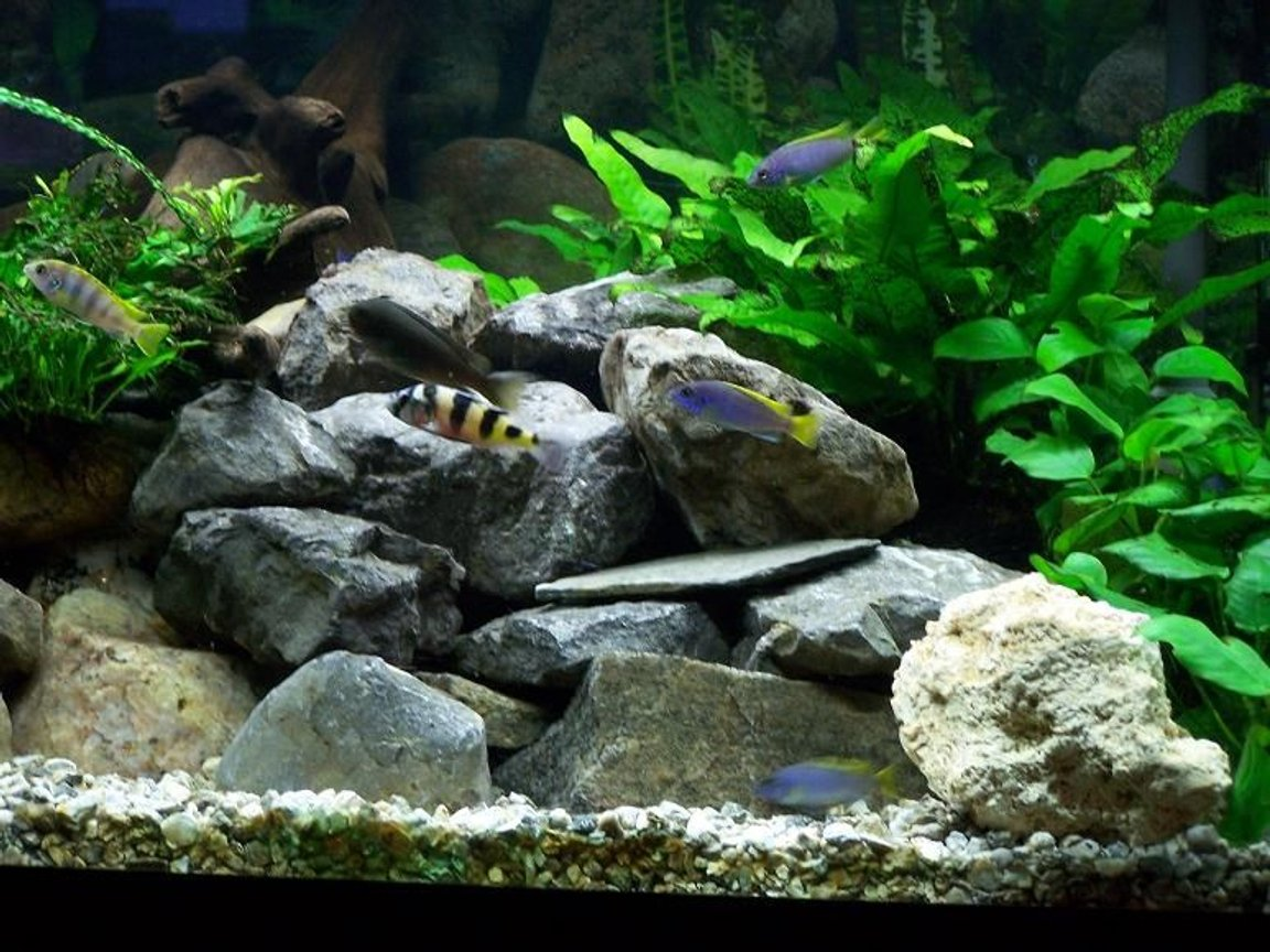 freshwater fish - astatotilapia latifasciata - zebra obliquidens stocking in 75 gallons tank - 75 gallon Malawi Rift Lake tank with low light life plants. There are: Zebra Obliquidens, PS Acei, Yellow labs, pearlmutt labs, Rusty cichlids, Bristlenose pleco and Synodontis multipunctatus.