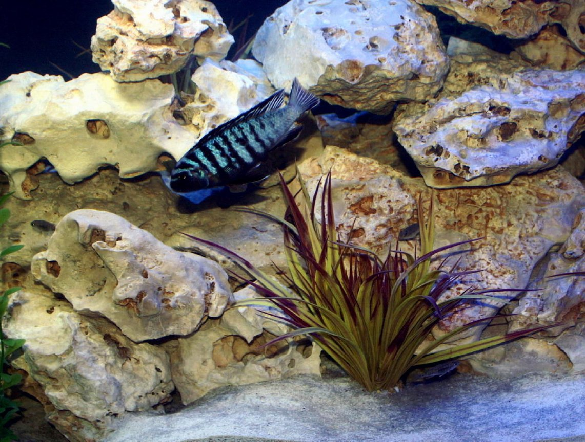 freshwater fish - metriaclima sp. - chilumba zebra stocking in 200 gallons tank - more Cichlid shots