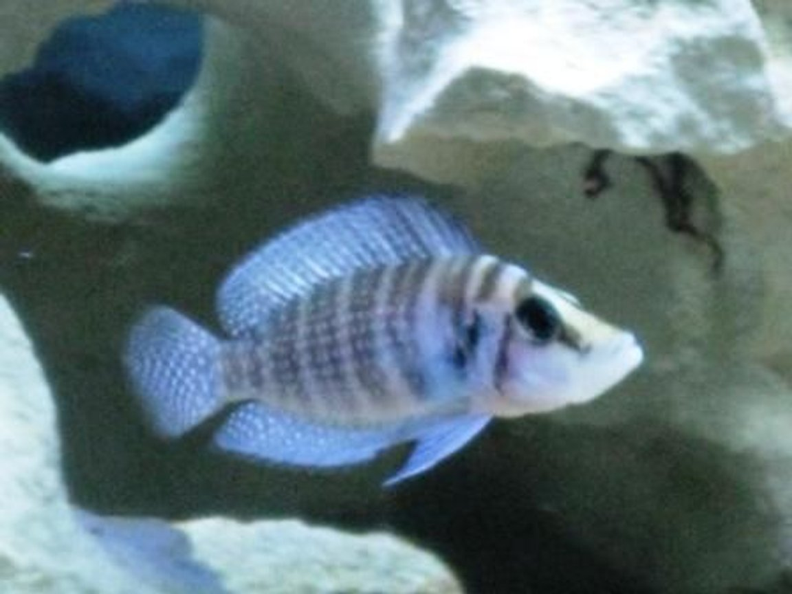 freshwater fish - altolamprologus calvus - calvus stocking in 75 gallons tank - Black Calvus