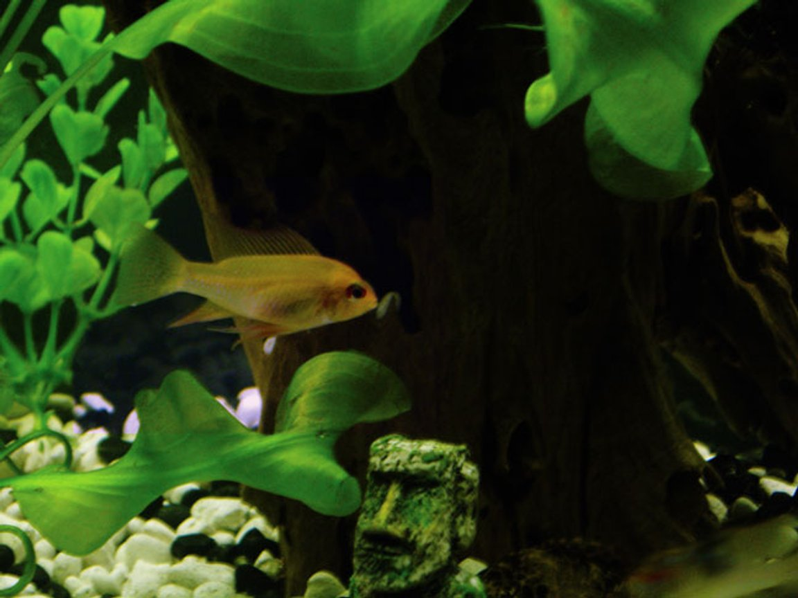freshwater fish - papiliochromis ramirezi - german gold ram stocking in 55 gallons tank - This is one of my Golden Rams...