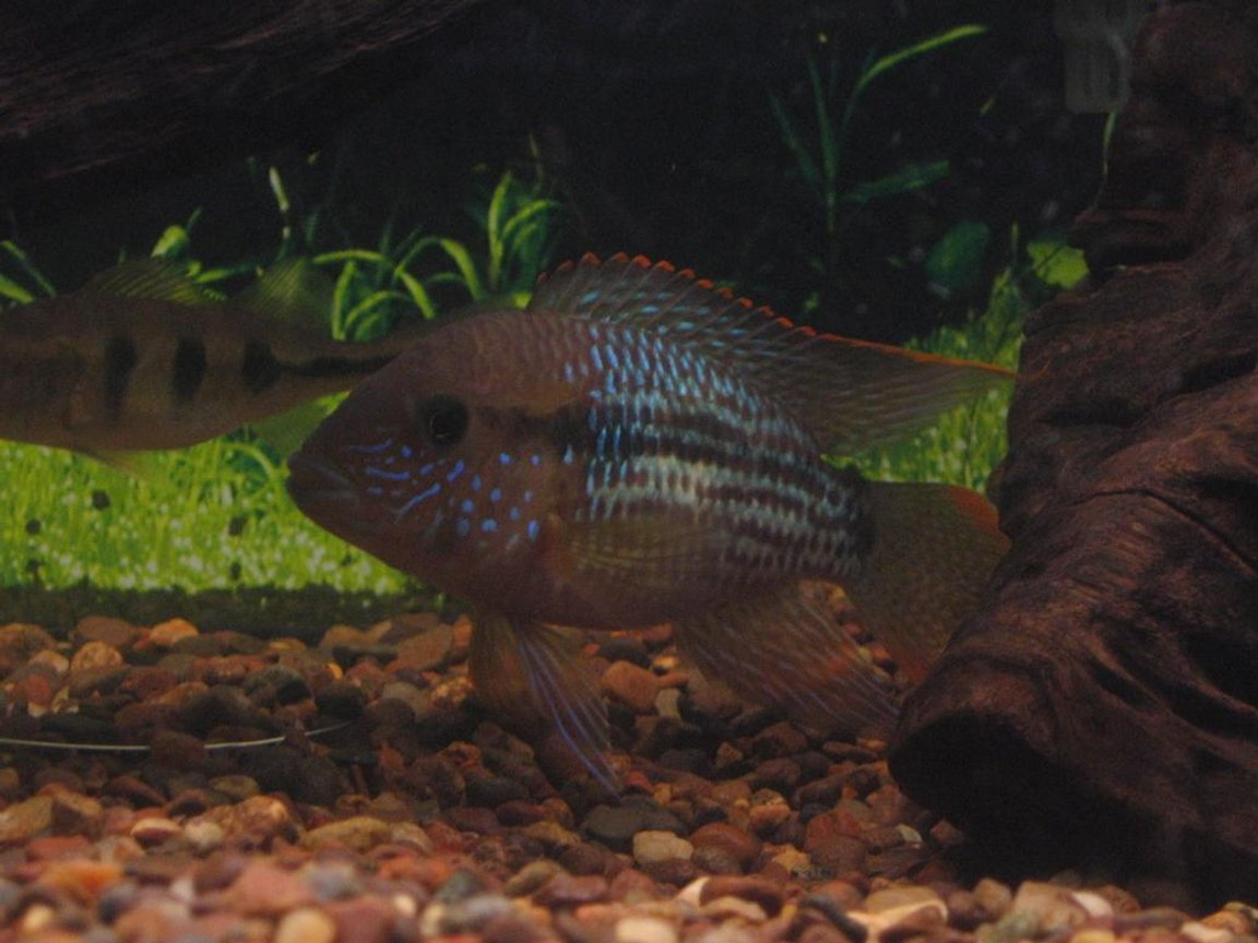 freshwater fish - aequidens rivulatus - green terror stocking in 125 gallons tank - green terror juvie