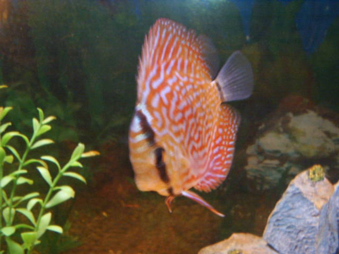 freshwater fish - symphysodon aequifasciata sp. - discus stocking in 55 gallons tank - discus