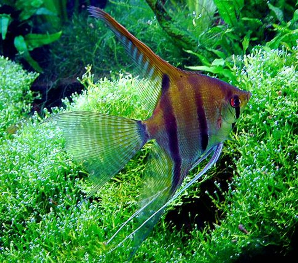 freshwater fish - pterophyllum scalare - angelfish stocking in 40 gallons tank - angelfish over riccia fluitians (photo digitally enhanced)