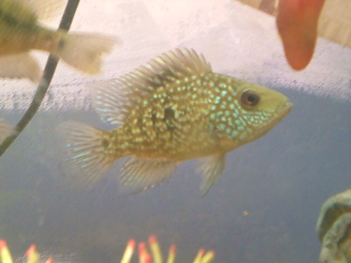 freshwater fish - herichthys cynoguttatus - texas cichlid stocking in 29 gallons tank - my texas chiclid