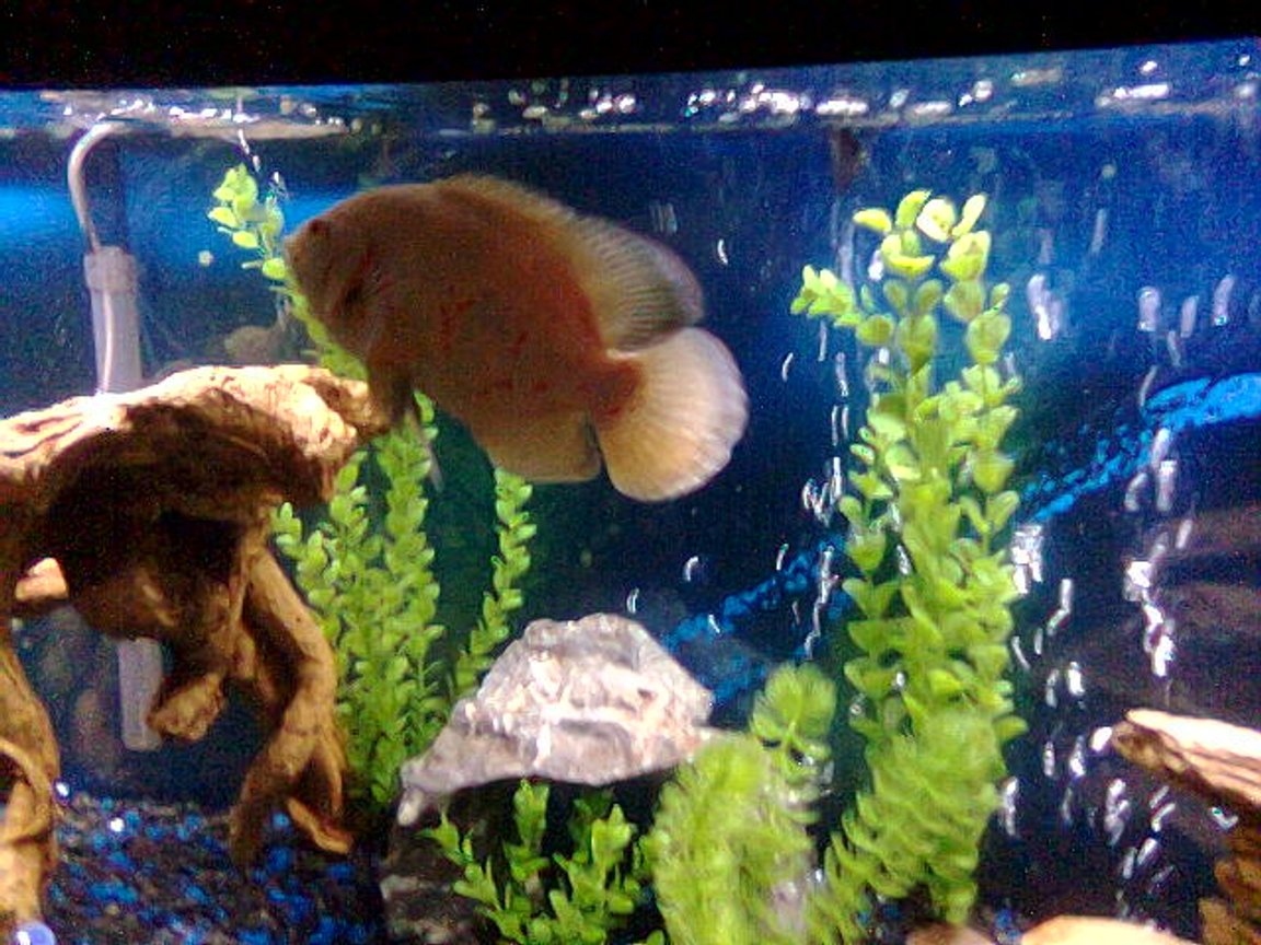 "freshwater fish - astronotus ocellatus - albino oscar stocking in 55 gallons tank - 55 GAL....Tha home of my fishes....8"" PACU, 7"" OSCAR, 3 1/2 "" GREEN TERROR, 3"" CONVICT AND 1"" JACK DEMPSEY......"