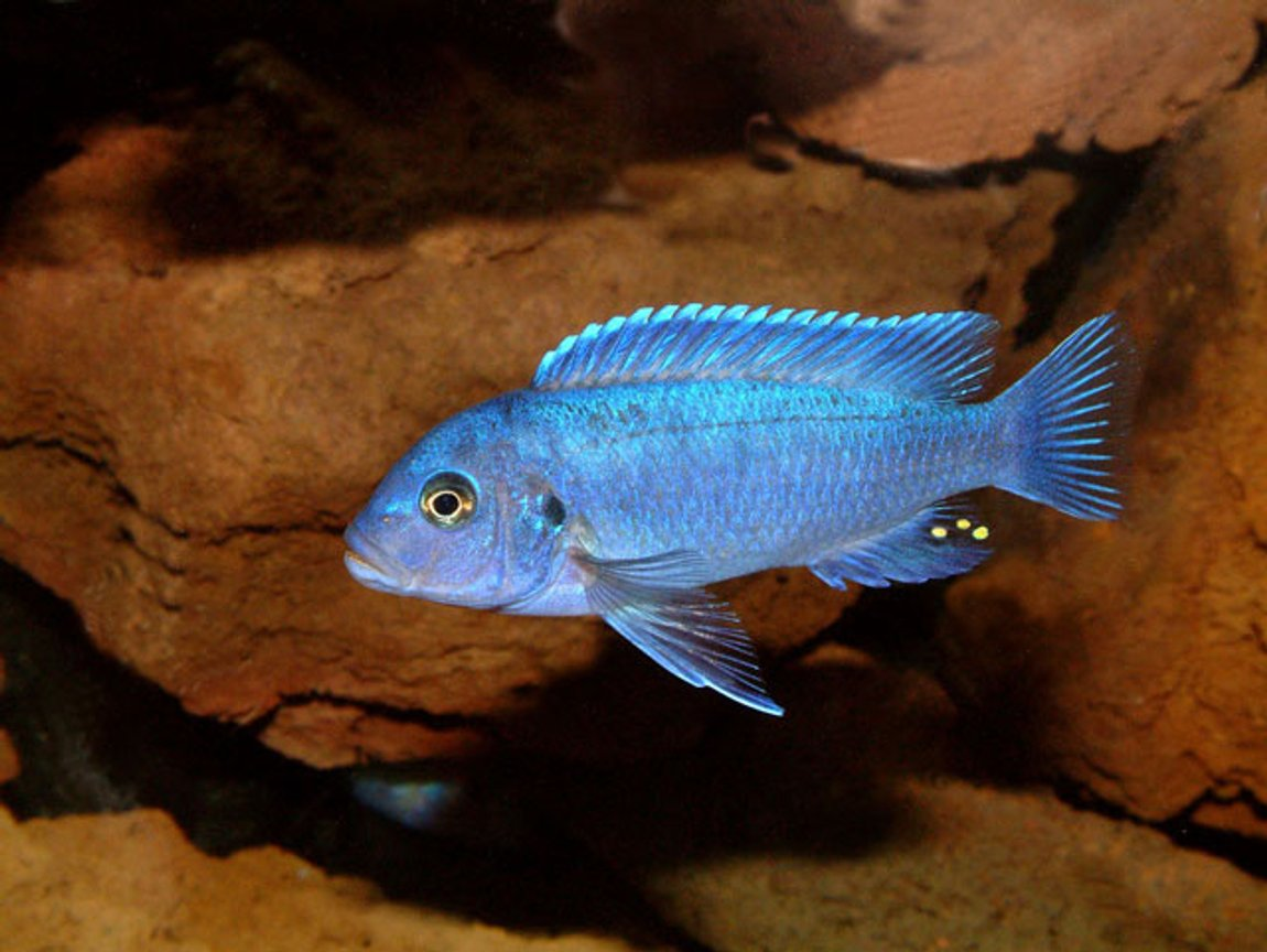 freshwater fish - maylandia callainos - blue cobalt cichlid stocking in 64 gallons tank - Maylandia Callianos 'cobalt Blue'