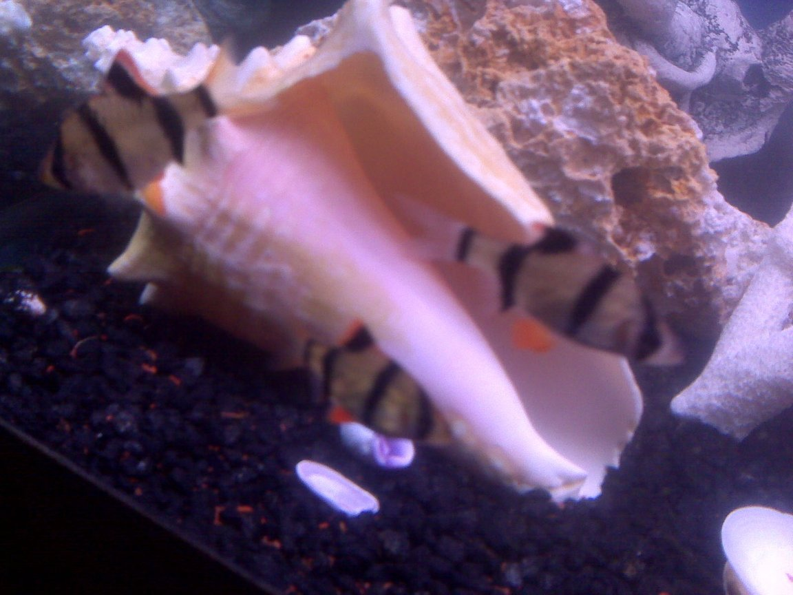 freshwater fish - puntius tetrazona - tiger barb stocking in 70 gallons tank - My three tiger barbs