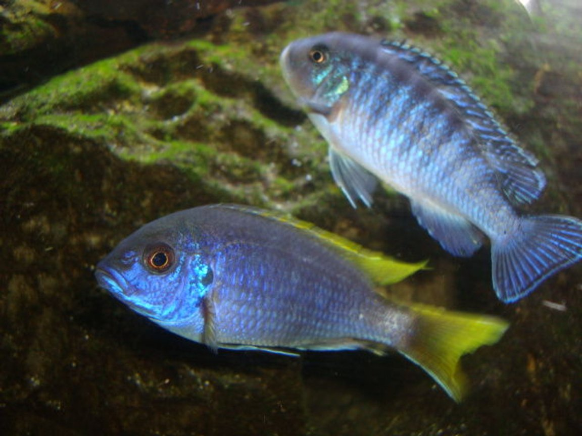 freshwater fish - pseudotropheus sp. - acei cichlid stocking in 125 gallons tank - my blue zebra and ac cichlids