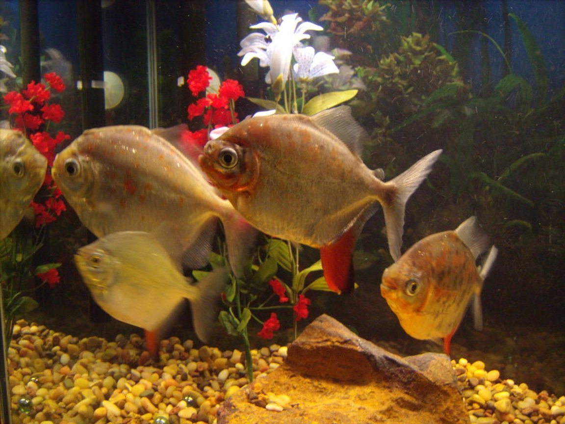 freshwater fish - metynnis argenteus - silver dollar stocking in 55 gallons tank - Silver Dollars