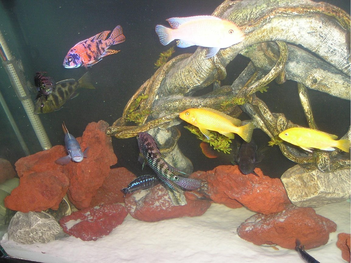 freshwater fish - nimbochromis venustus - venustus cichlid stocking in 80 gallons tank - Assorted African Cichlids