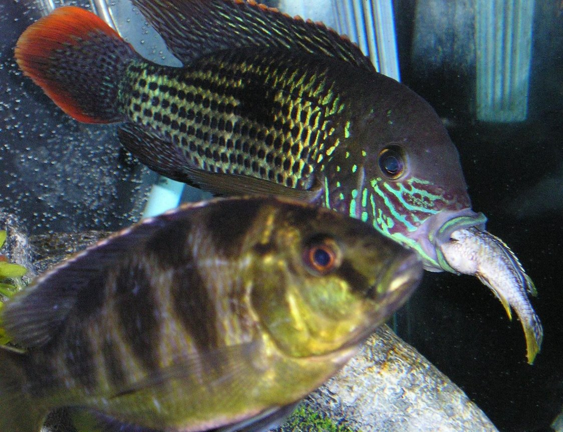 freshwater fish - aequidens rivulatus - green terror stocking in 80 gallons tank - Green Terror eating a cichlid