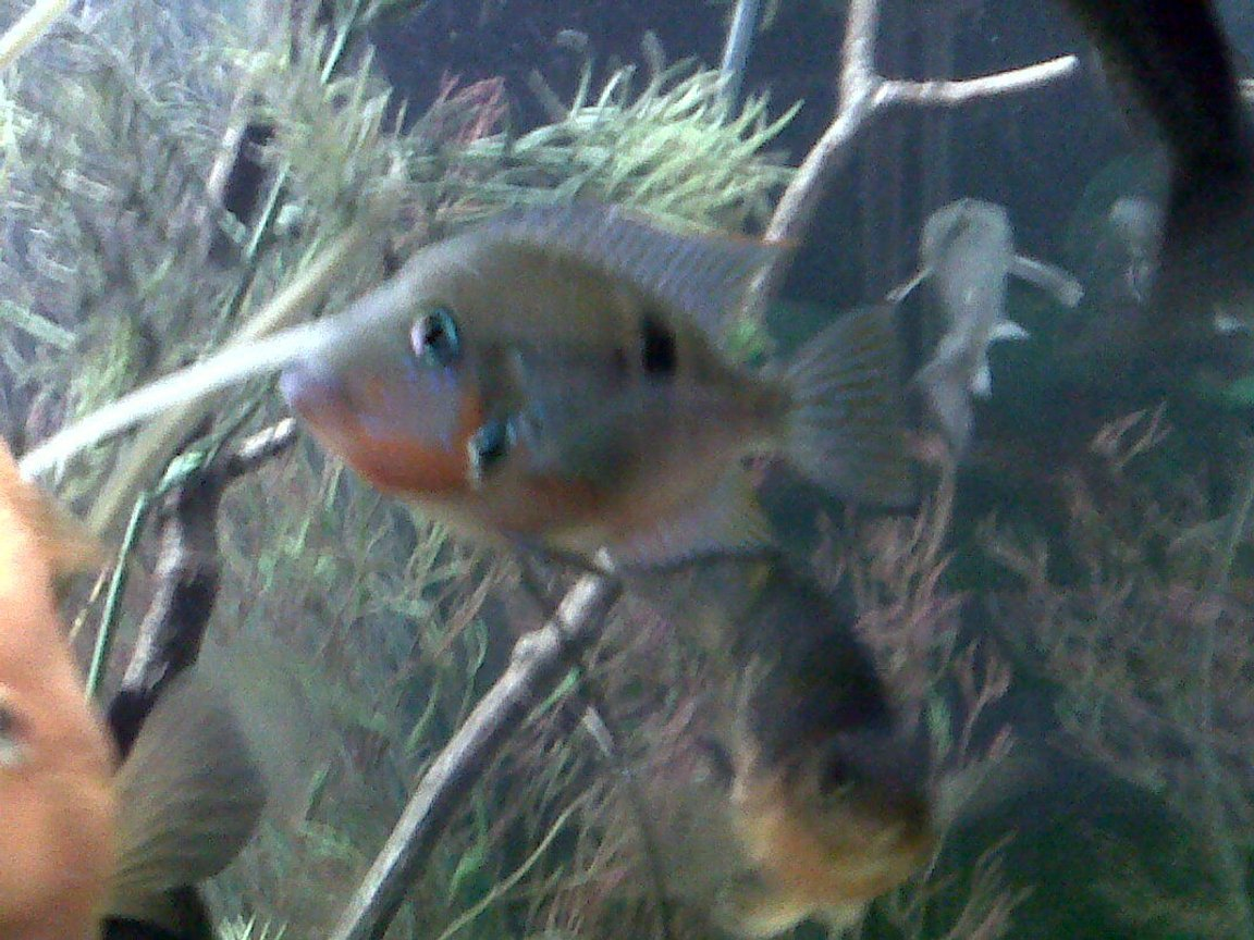 freshwater fish - thorichthys meeki - firemouth cichlid stocking in 75 gallons tank - Fire Mouth Cichlid