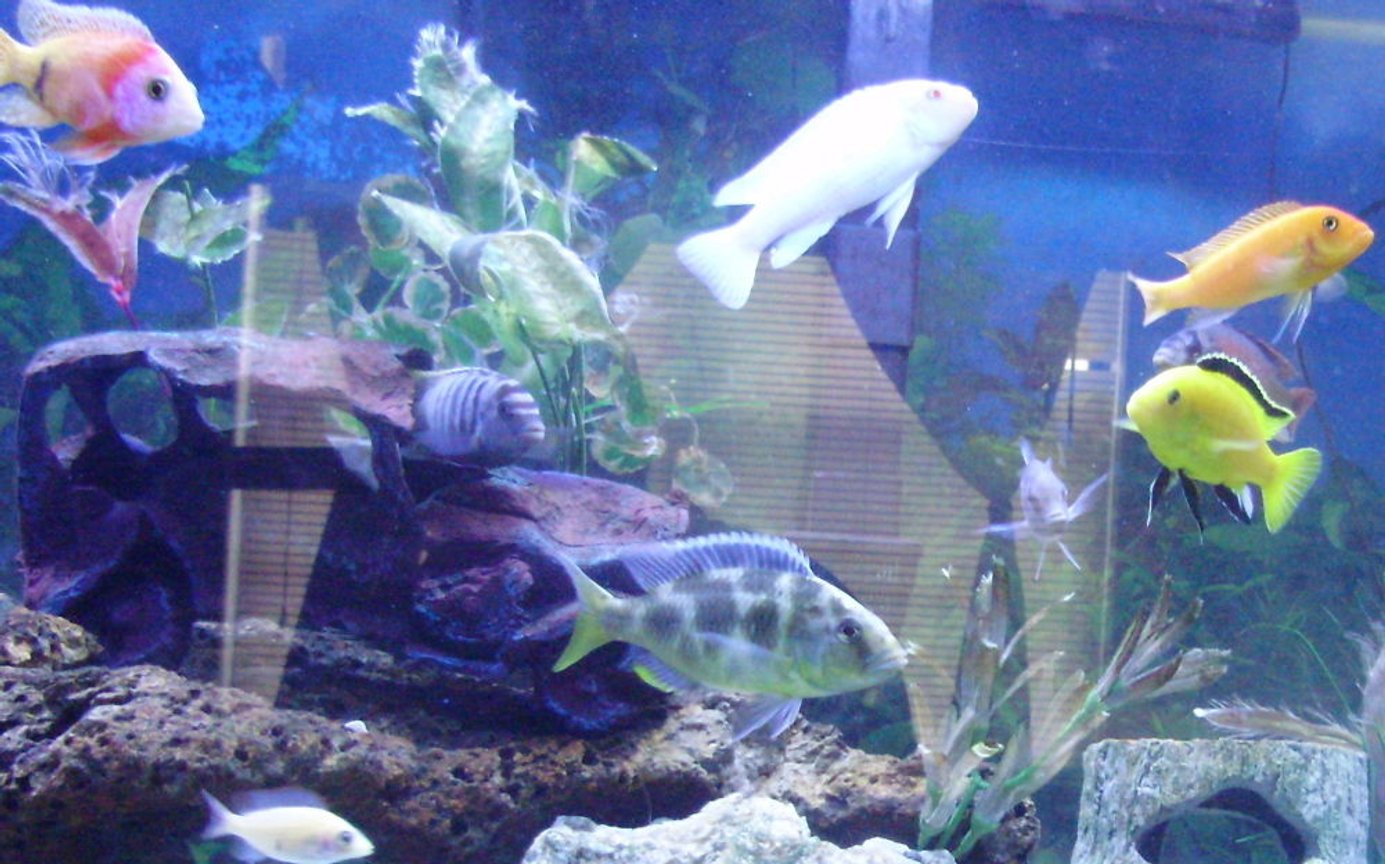 freshwater fish - labidochromis caeruleus - electric yellow cichlid stocking in 70 gallons tank - some of my cichlids