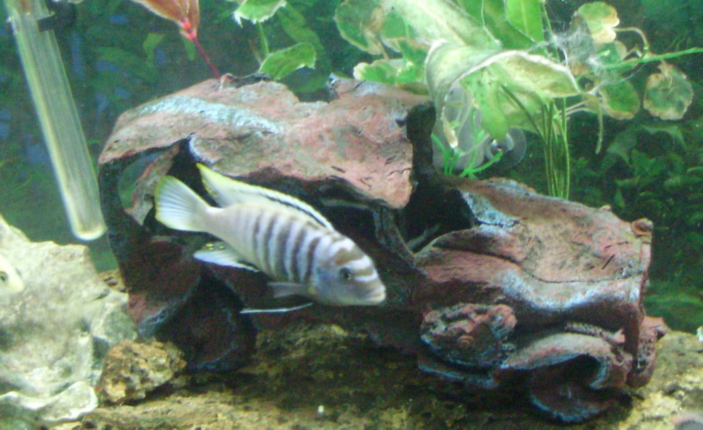freshwater fish - pseudotropheus saulosi - saulos's mbuna stocking in 70 gallons tank - yellow tip named bubbles 6 inches