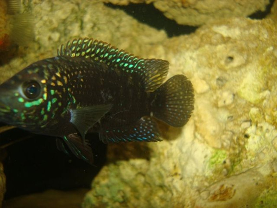 freshwater fish - nandopsis octofasciatum - jack dempsey stocking in 114 gallons tank - 1 of my jack demps