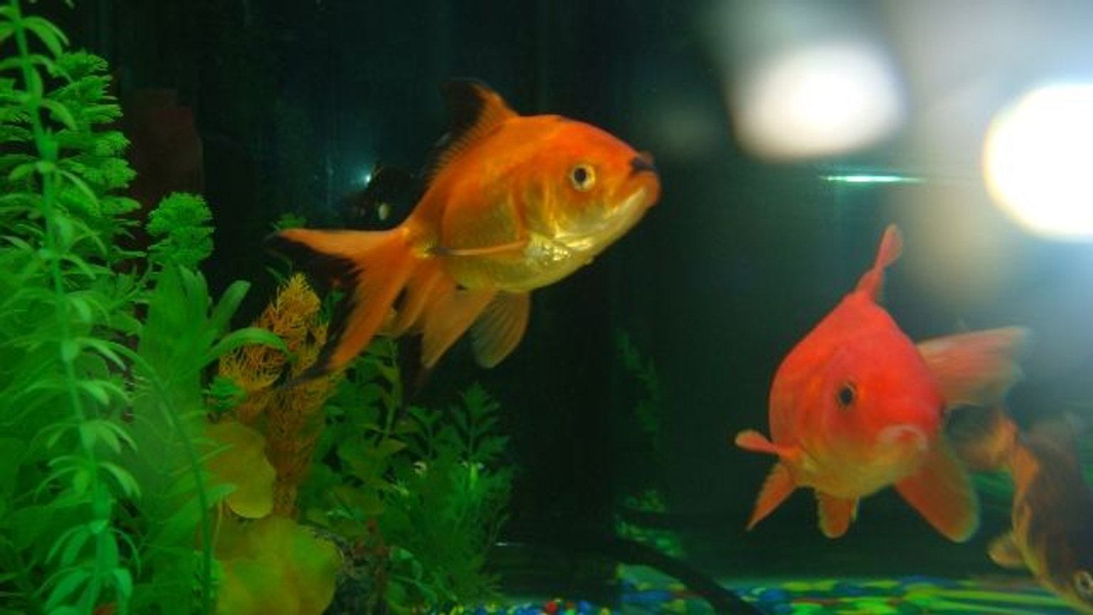 freshwater fish - carassius auratus - fantail goldfish stocking in 60 gallons tank - my giant gold fish
